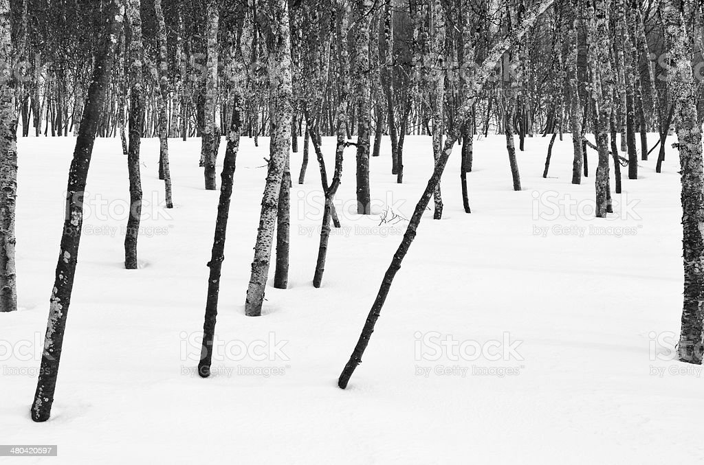 Snow covered ground in the birch and beech forest stock photo