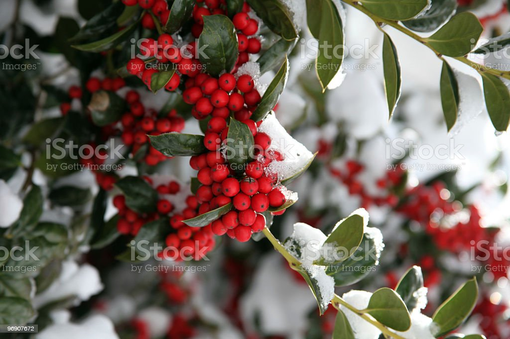 Snow Covered Holly royalty-free stock photo