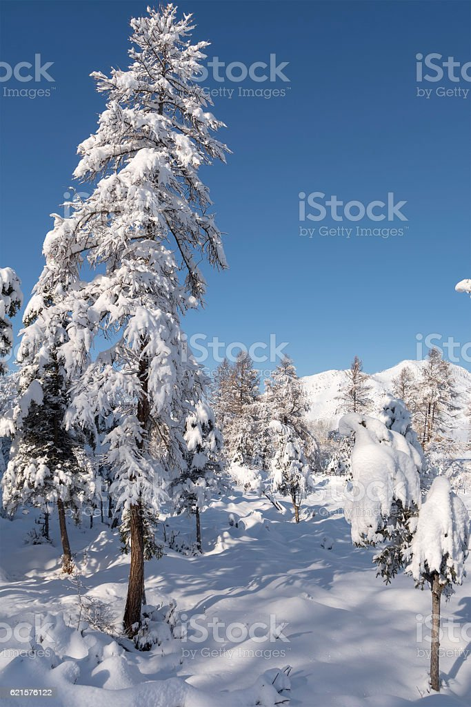 Snow covered larch and fir trees in the highlands. The photo libre de droits