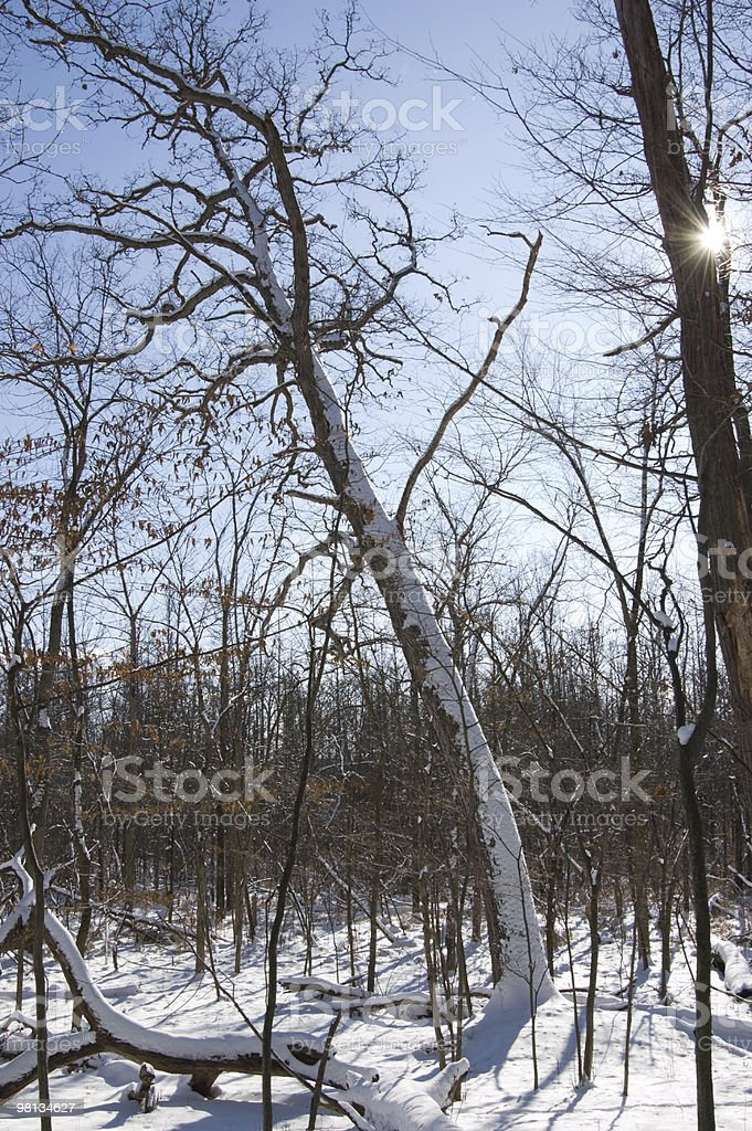 Snow Covered Leaning Tree royalty-free stock photo