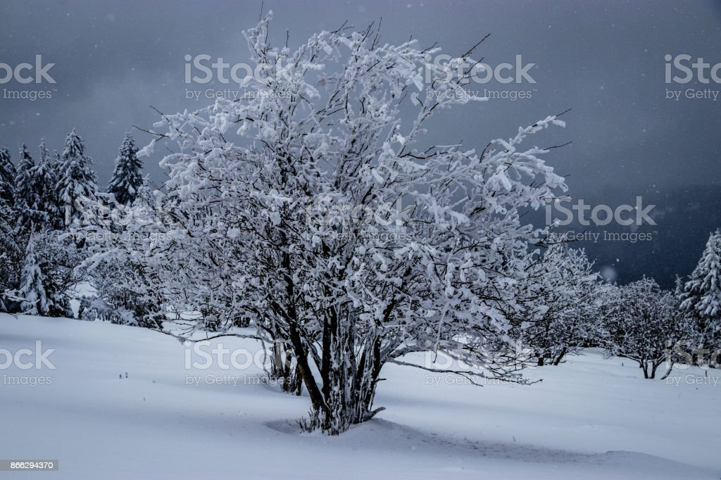 Snow covered lonely tree stock photo