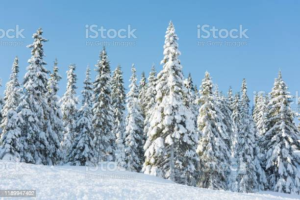 Photo of Snow covered Norwegian spruce Christmas trees in the mountains in winter