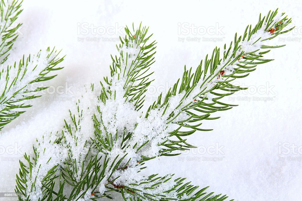 Snow covered pine branch royalty-free stock photo