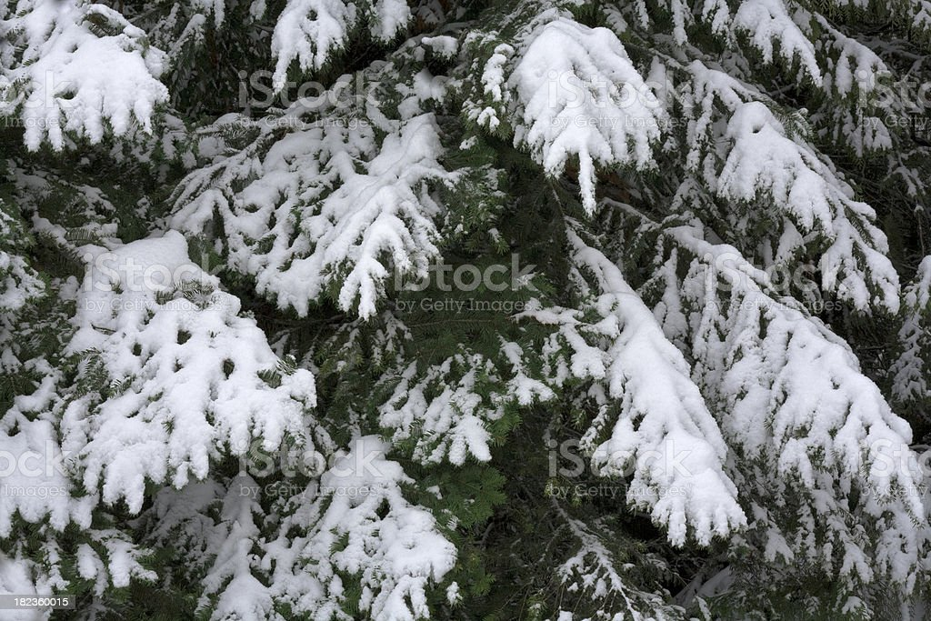 snow covered pine branches royalty-free stock photo