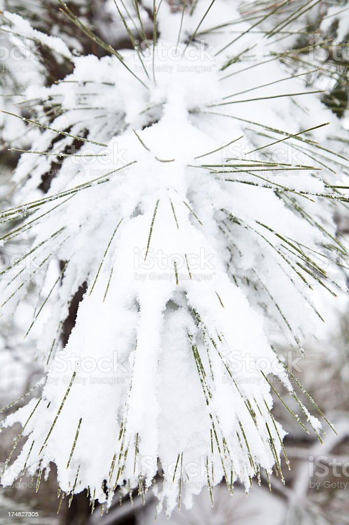Snow covered pine needles royalty-free stock photo