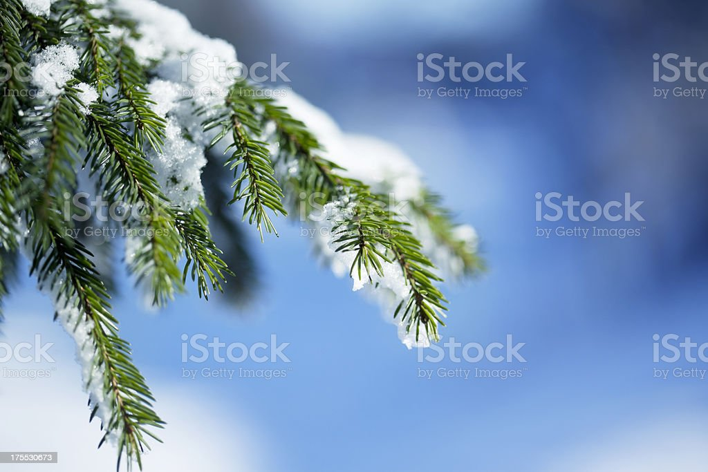 Snow Covered Pine Tree Infront Of Blue Background royalty-free stock photo