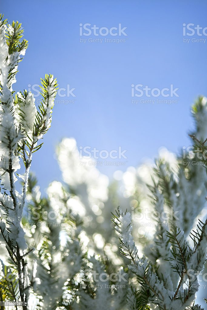 Snow Covered Pine Tree Infront Of Blue Sky royalty-free stock photo