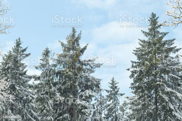 Snow covered pine trees in a forest on winter day picture id1204389501?b=1&k=6&m=1204389501&s=612x612&h=5upzvspjdi xbcttvolykbrn9lxtzzng2uladnupqq8=