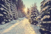 Snow covered pine trees on sunset