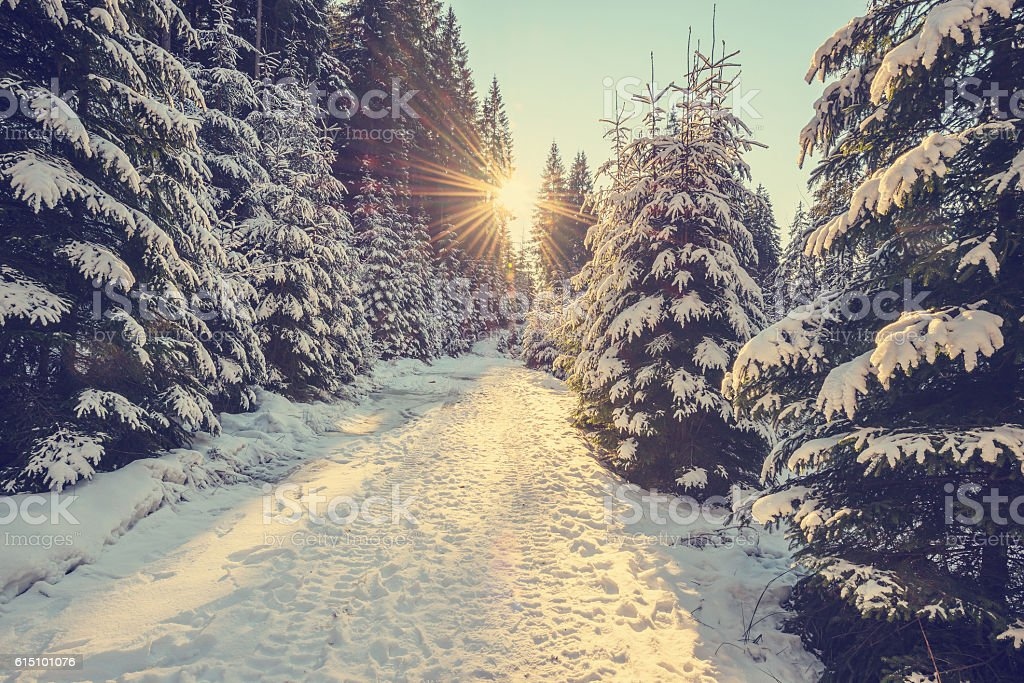 Snow covered pine trees on sunset stock photo