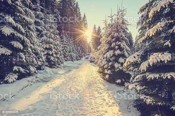 Photo of Snow covered pine trees on sunset
