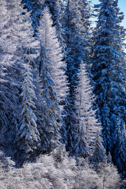 Snow covered pine trees stock photo