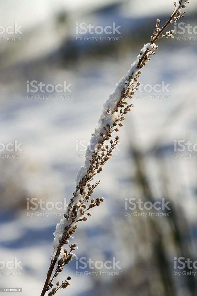 Snow covered plant in winter royalty-free stock photo