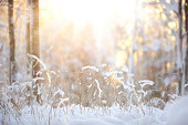 Snow covered bush branches against defocused winter forest background.
