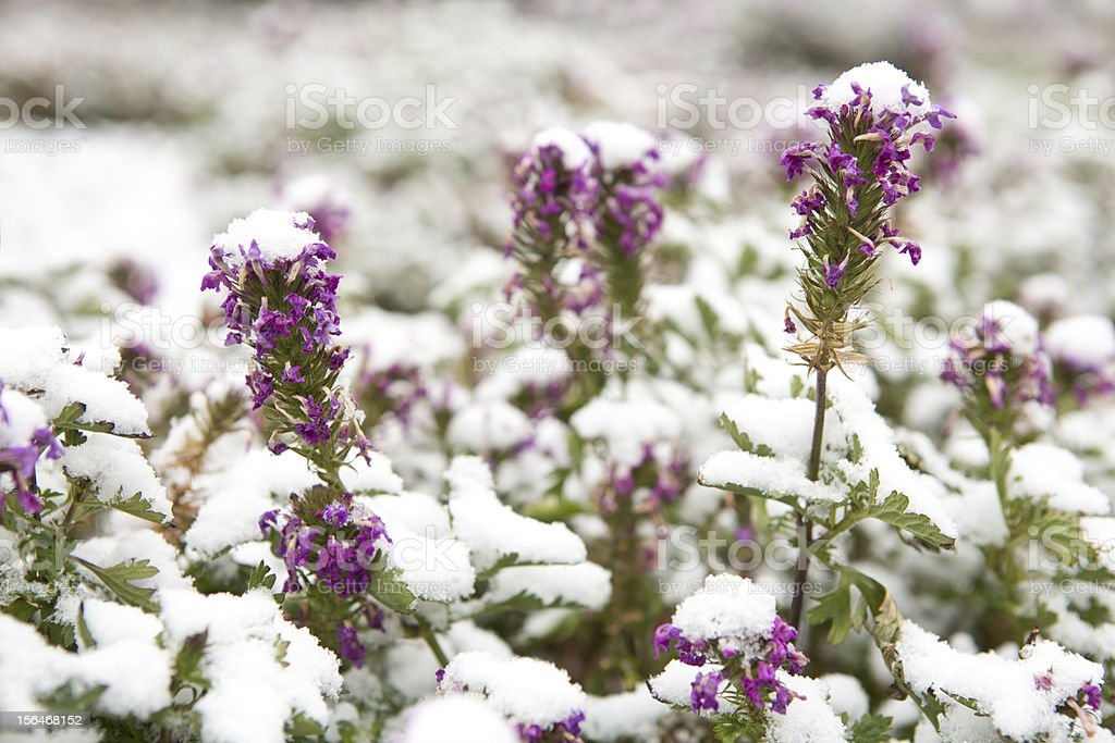 Snow covered purple flowers at first snowfall royalty-free stock photo