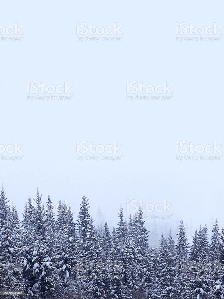 Snow Covered Spruce Trees Forest Winter Season Wilderness Landscape stock photo