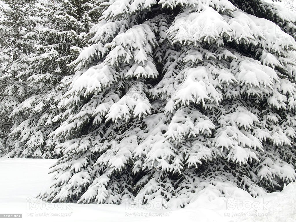 Snow covered Spruces royalty-free stock photo