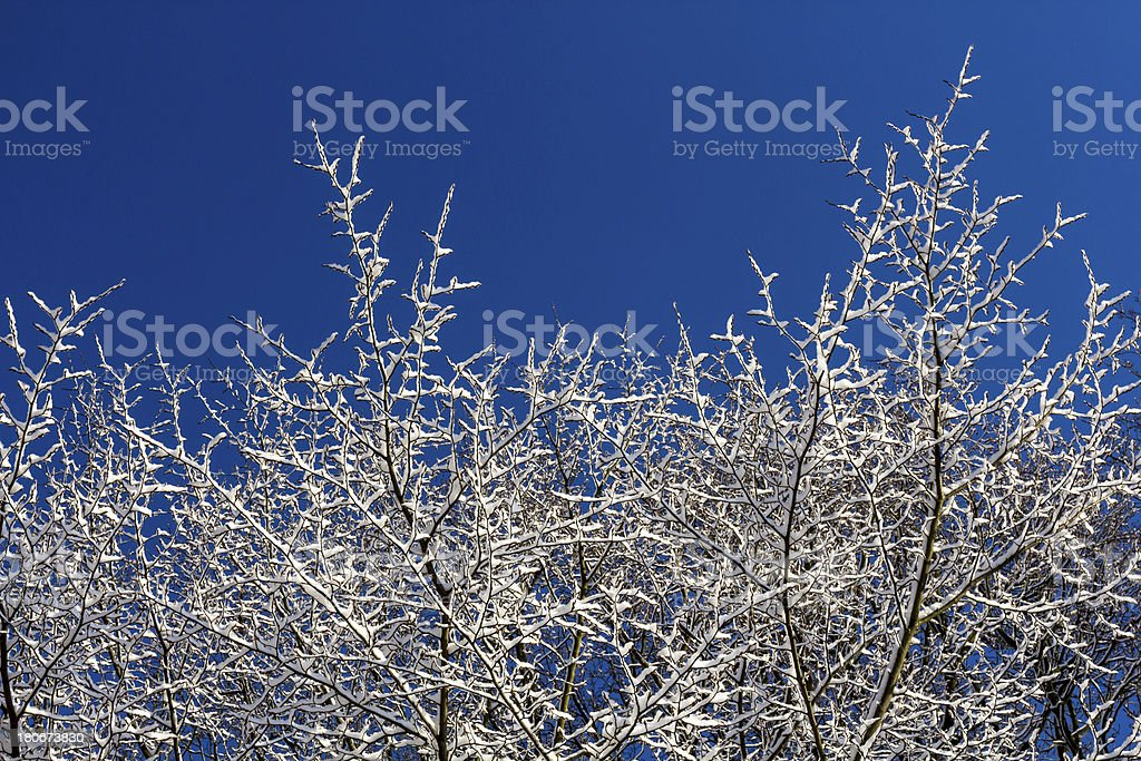 Snow covered Tree and blue skies royalty-free stock photo