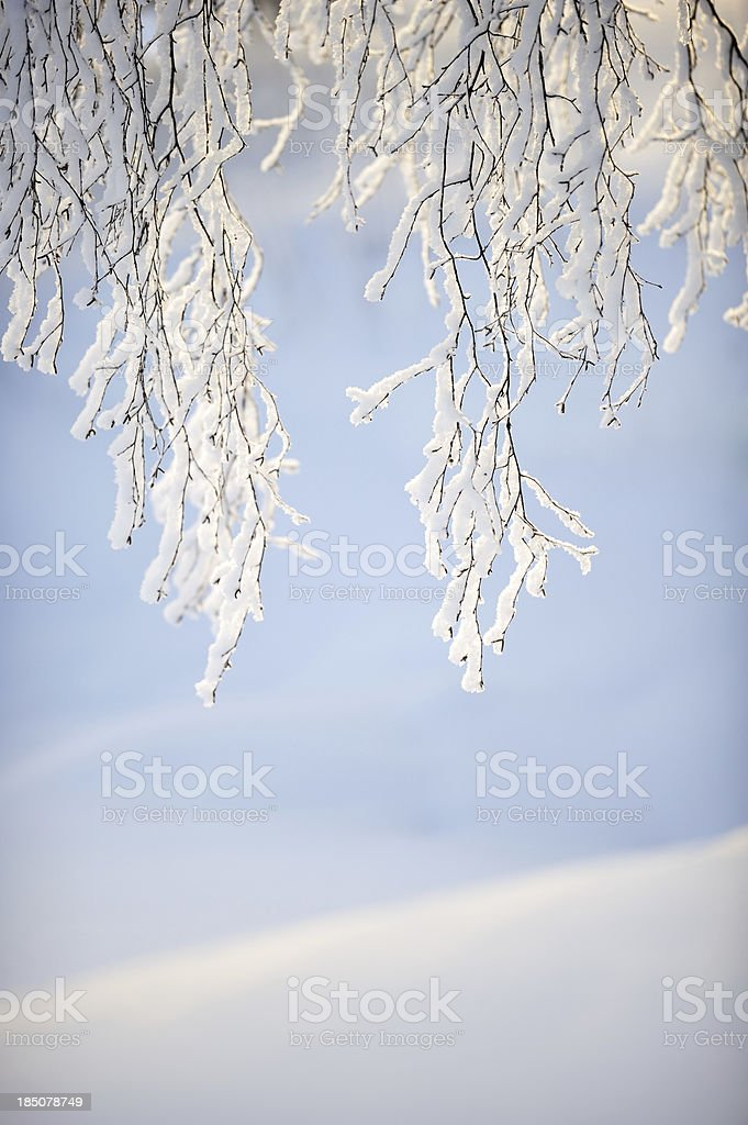 Snow covered tree branches royalty-free stock photo