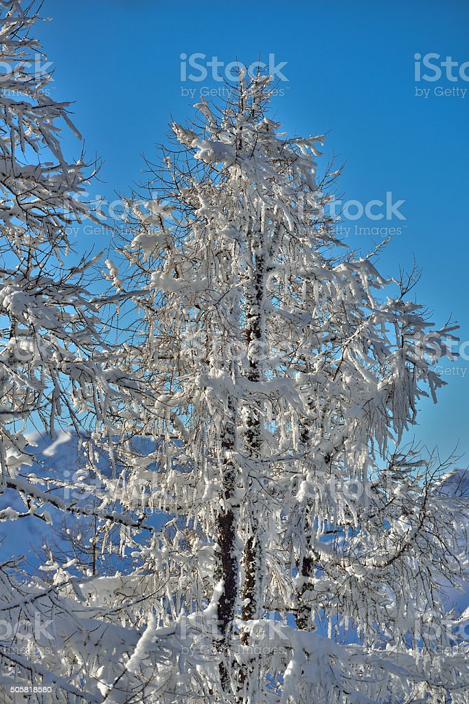 Snow covered tree in upper Austria stock photo