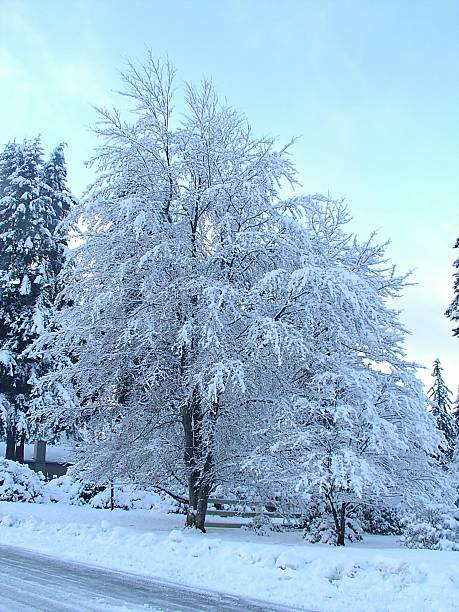 snow covered tree - weighted blanket stock photos and pictures