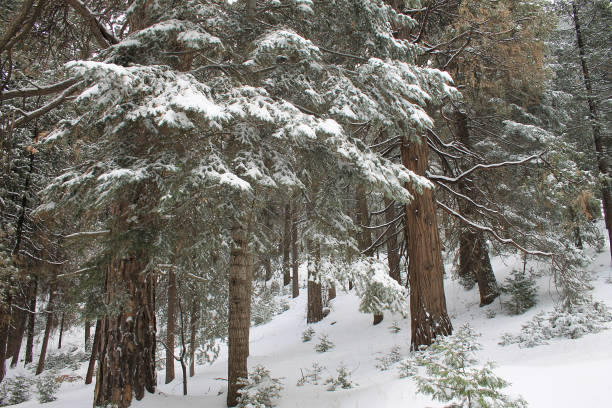 Snow covered trees in the forest near Twin Peaks, California stock photo