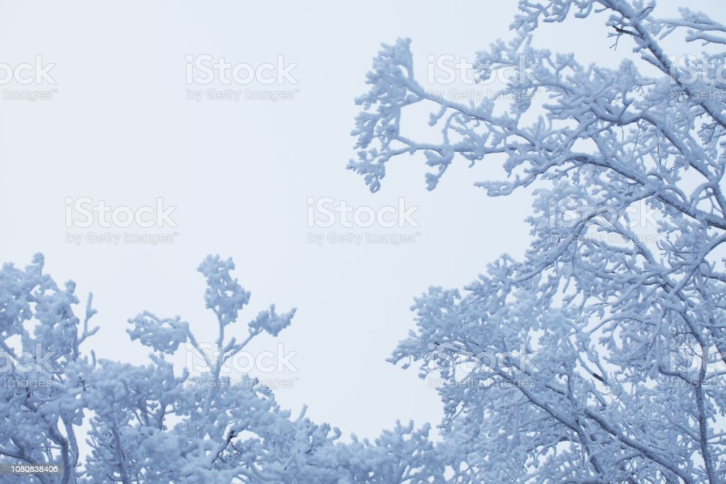 Snow covered trees in the winter forest stock photo