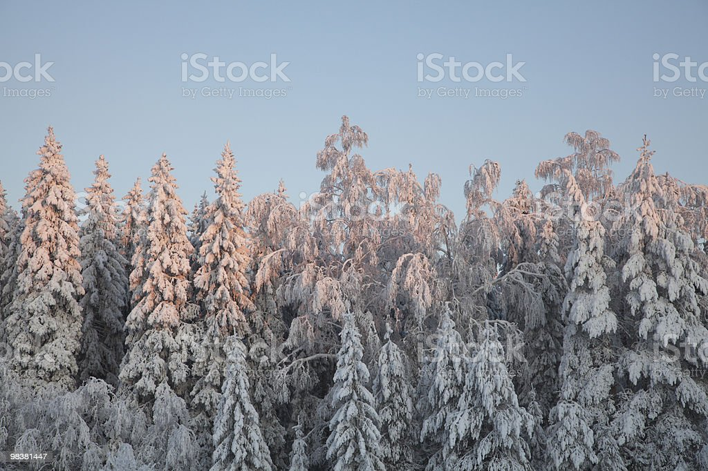 Snow covered trees - paste tones before sunset royalty-free stock photo