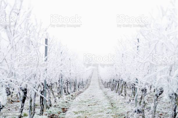 Photo of Snow covered vineyard in the winter after a freezing rain storm in winter and on one day with a fog. Winter frosty vineyard landscape covered by white flake ice.