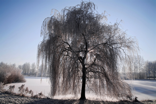 Snow covered weeping willow in front of a frozen pond