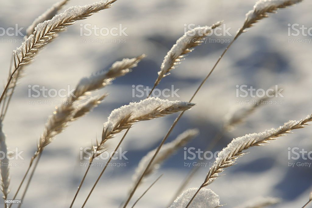 Snow covered wheat in winter royalty-free stock photo