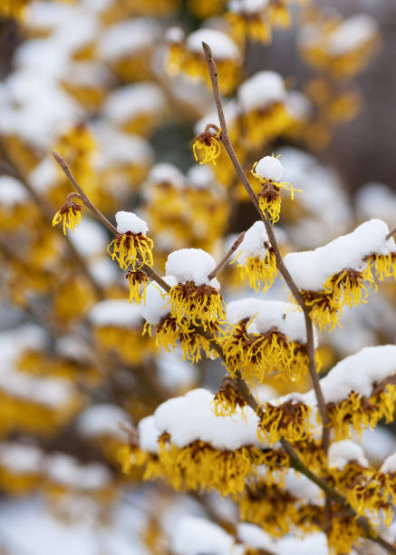 Snow covered witch hazel blossoms in winter. Snow covered witch hazel blossoms in winter. Selective focus. (Hamamelis mollis) saxifragales stock pictures, royalty-free photos & images