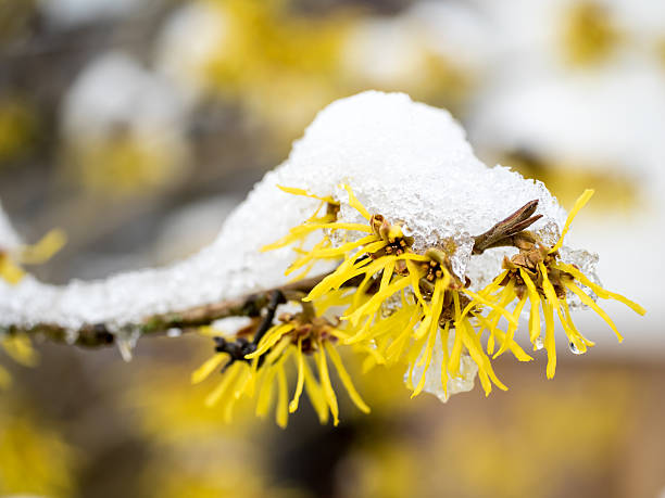 Snow covered witch hazel Blooming witch hazel tree in winter saxifragales stock pictures, royalty-free photos & images