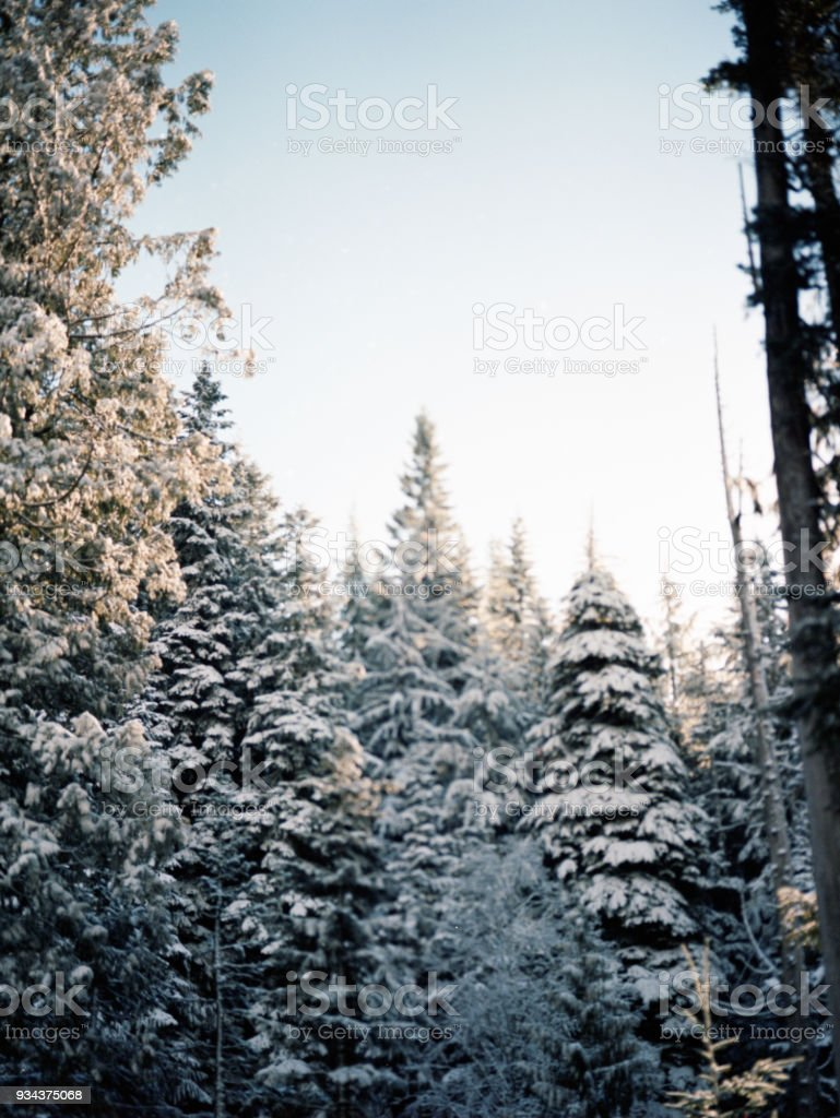 snow covering trees in oregon in the woods stock photo
