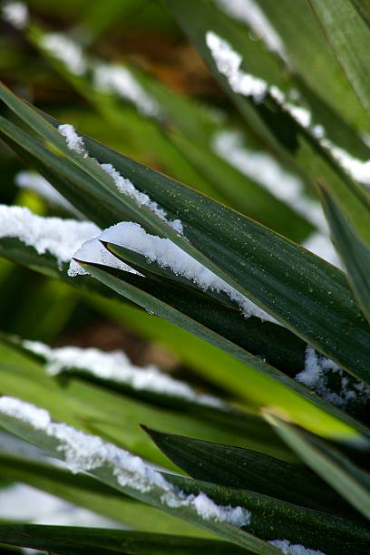 Snow Dipped Palm stock photo