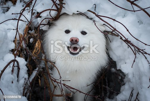 An Eskimo dog in the snow