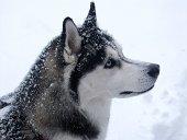istock snow dog 173614729