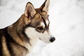 istock Snow dog 470785271