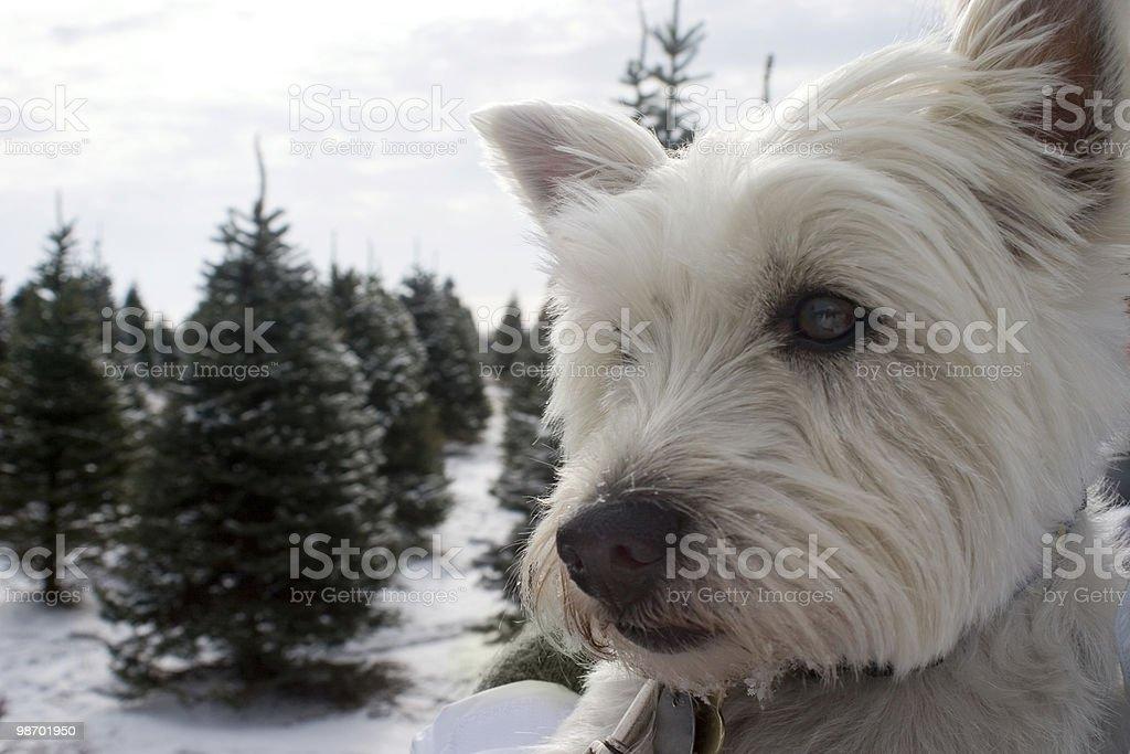 Snow Dog royalty-free stock photo