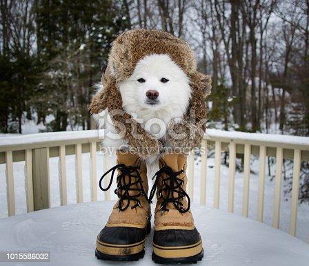 A Mini Eskimo Dog in it's natural habitat.