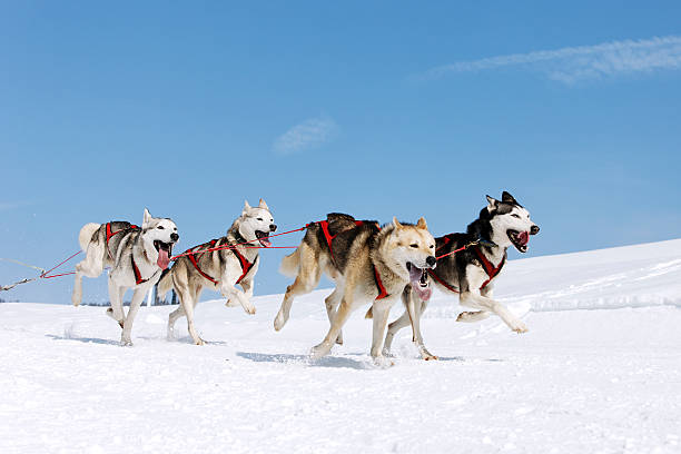 snow dogs  working animal stock pictures, royalty-free photos & images