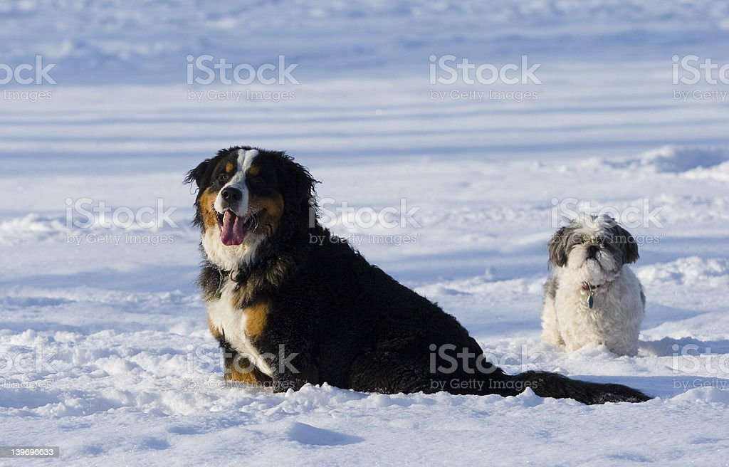 Snow dogs royalty-free stock photo