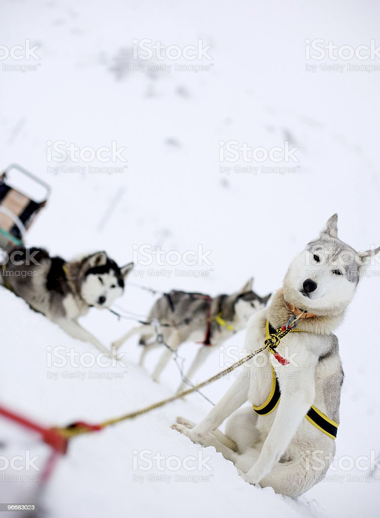 Snow Dogs stock photo