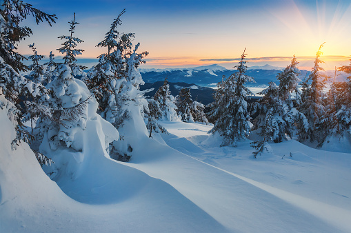 snow drifts and firs