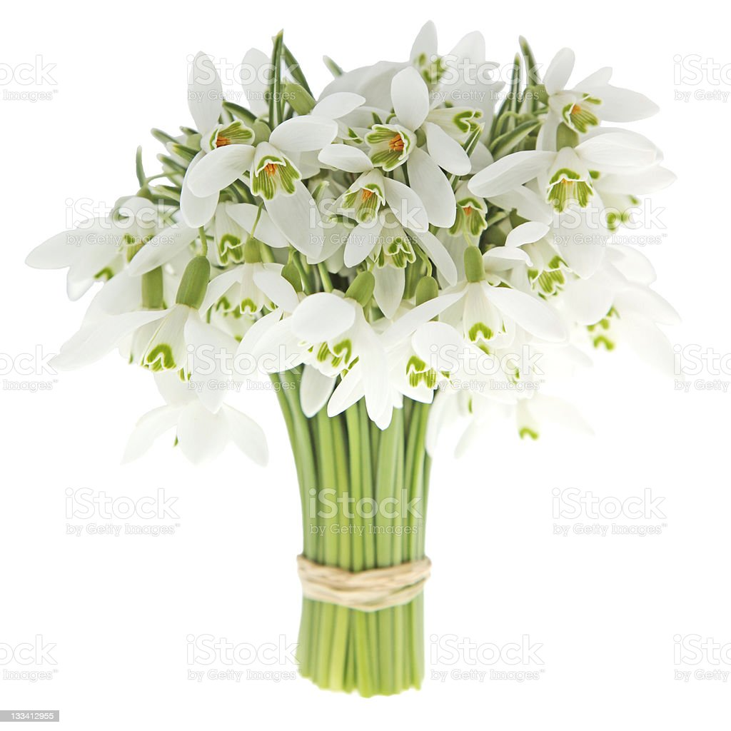 Snow Drop royalty-free stock photo