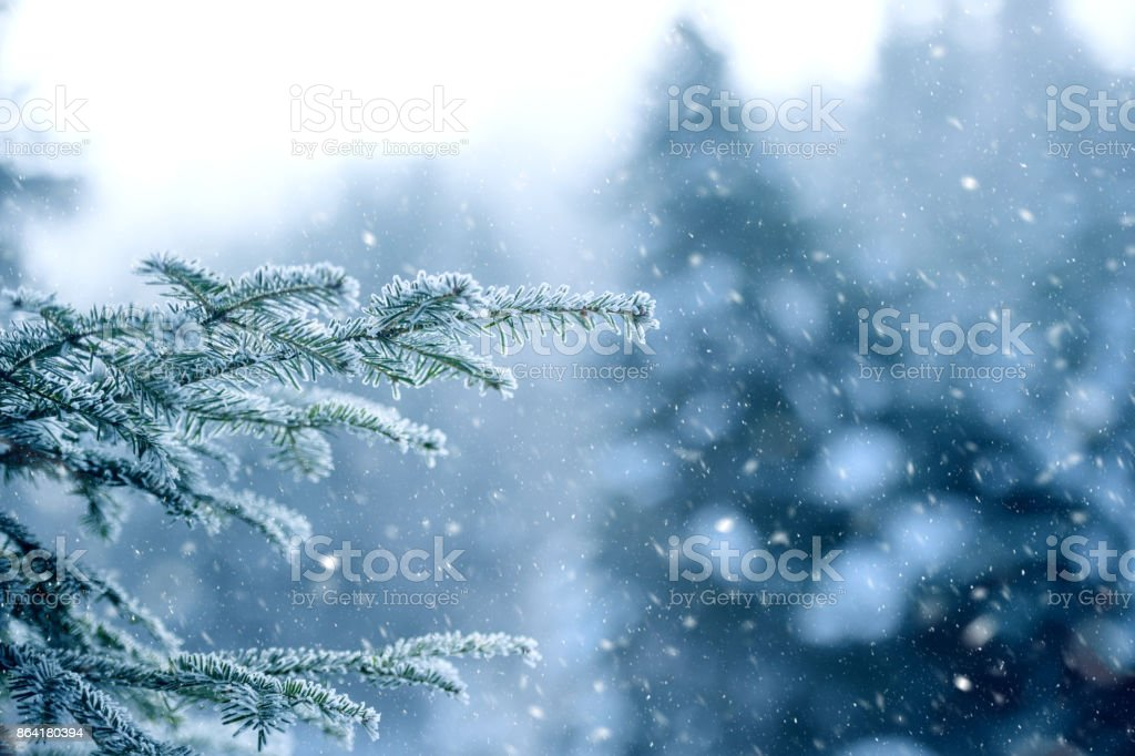 Snow falling in pine forest royalty-free stock photo