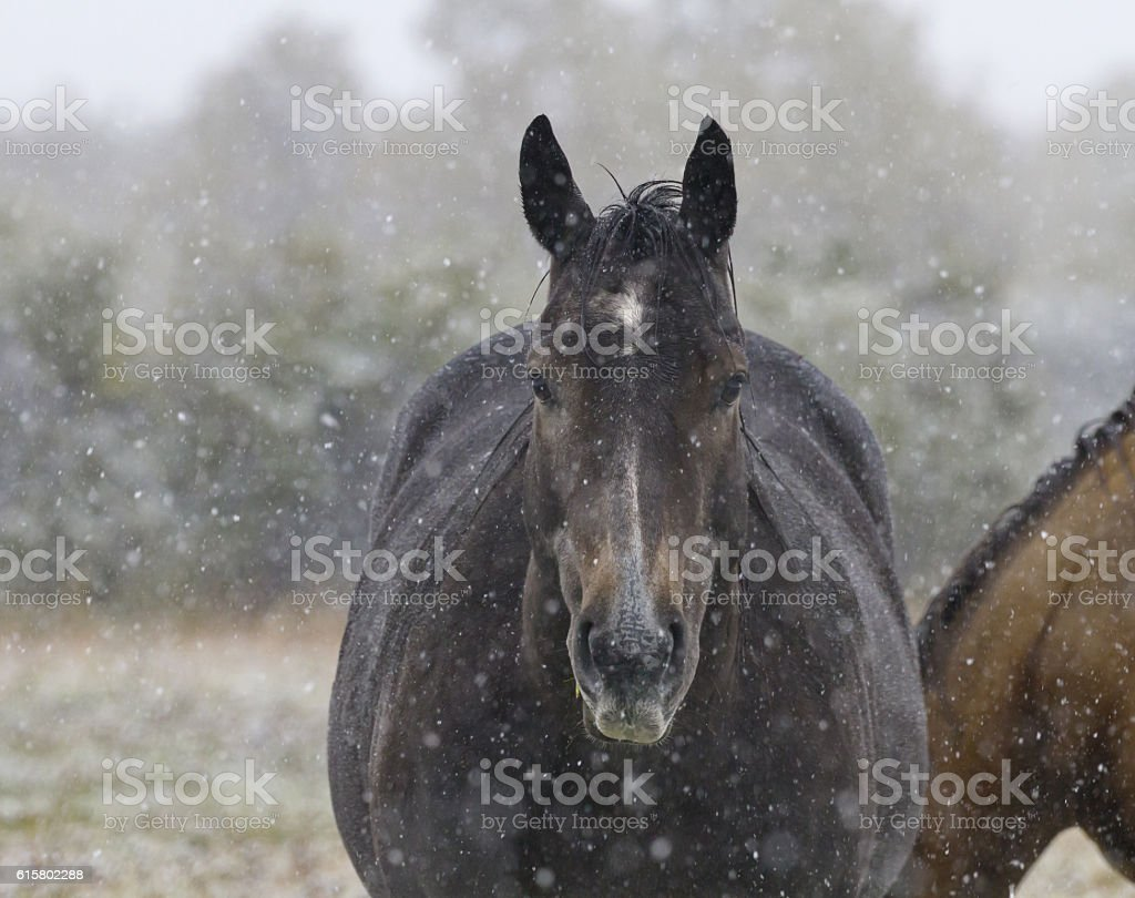 Snow falls gently on horse in Alberta stock photo