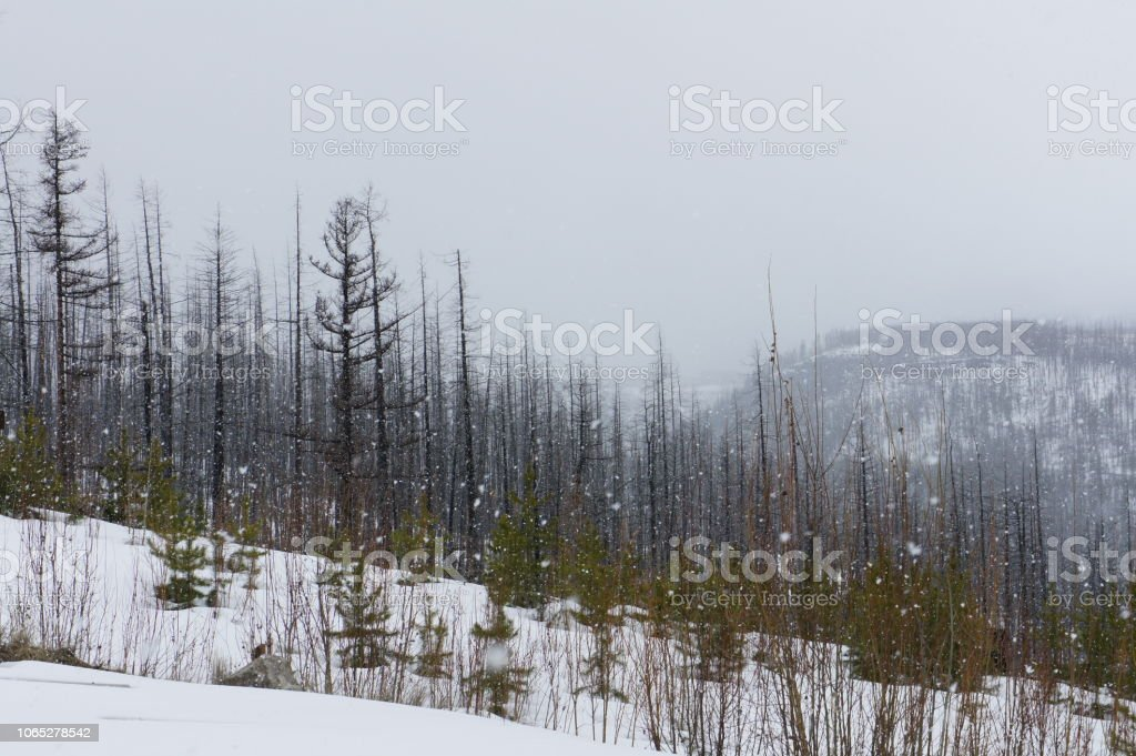 Snow falls on a grey day, in a burned forest at the top of a mountain stock photo