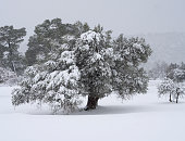 Snow falls on the background of an olive tree in winter in a Greek village in Greece