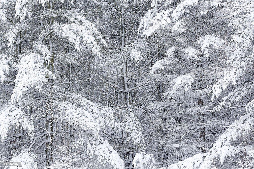 Snow Flocked Trees royalty-free stock photo